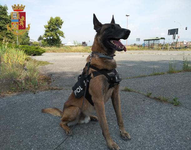Torino: Il cane Evan scova la droga nel doppio fondo di un cassetto