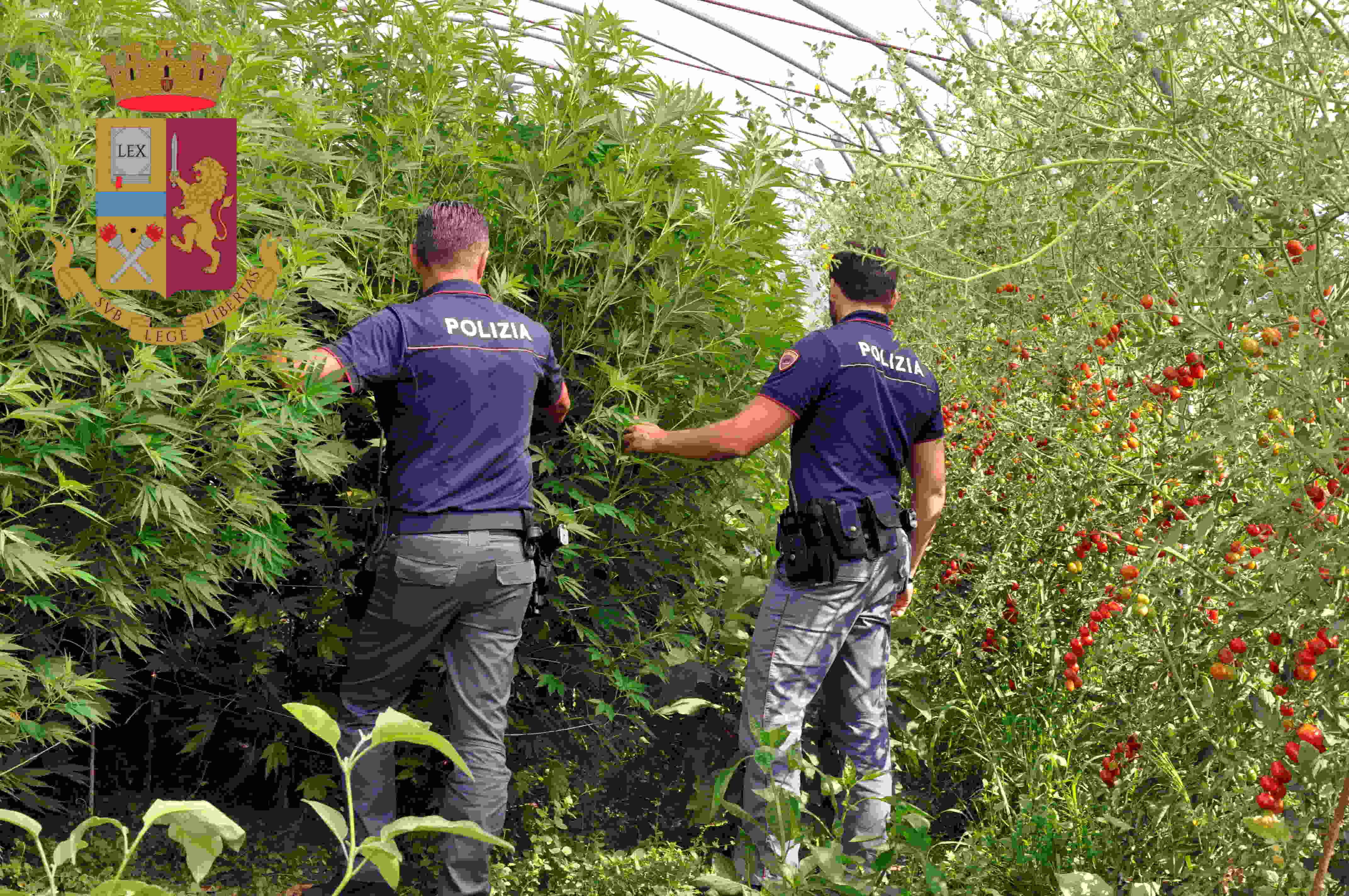 Ufficio Lavoro Jesolo : Jesolo scoperta piantagione di marijuana in una azienda di